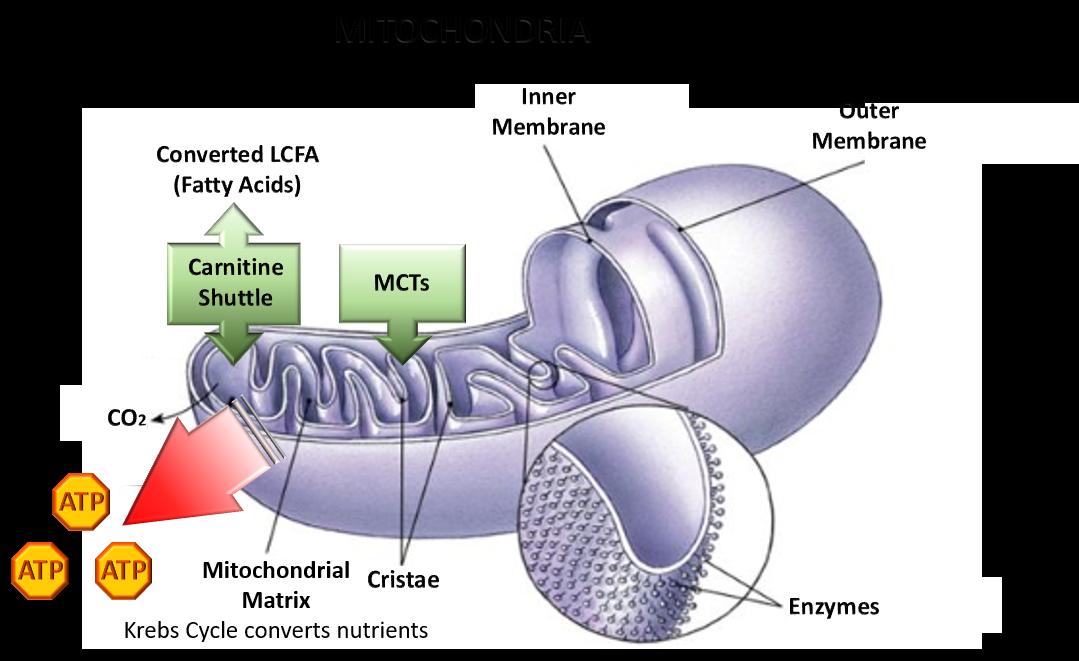 MCT oil powder benefits